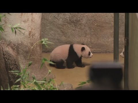 Baby panda born at Madrid Zoo