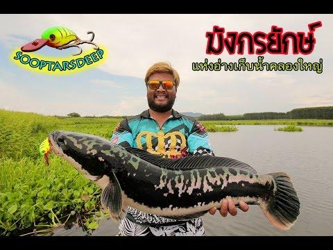 กบซุปตาร์ # ตกปลาชะโดยักษ์ มังกรแห่งคลองใหญ่ BY Yod911