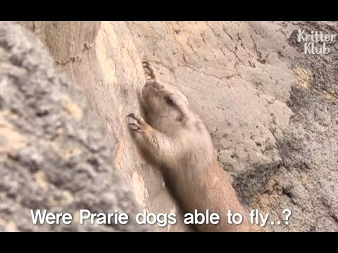 A Prairie Dog Has An Epic Escape Plan | Kritter Klub