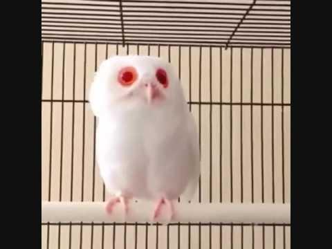 Langka Burung Celepuk Albino Javan Scops Owl Albino Youtube