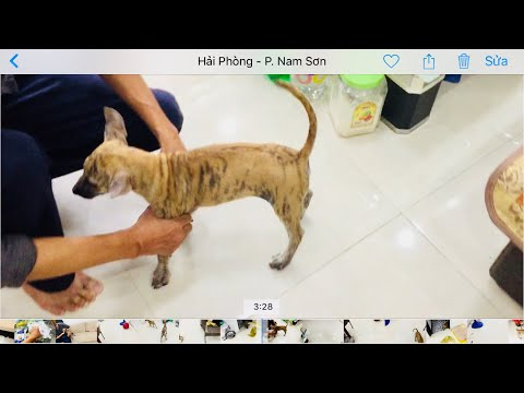 Giao Chó Con Đi Hà Nội- trại chó phú quốc hải phòng