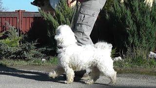 Výcvik psa - CHODZA PRI NOHE - OPRAVY / Dog training - HEELING CORRECTIONS