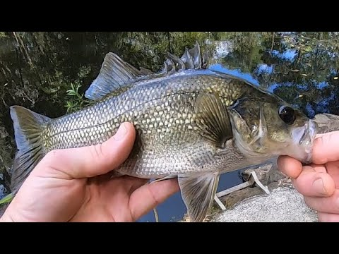 Gold Coast Hinterland Creek Bass