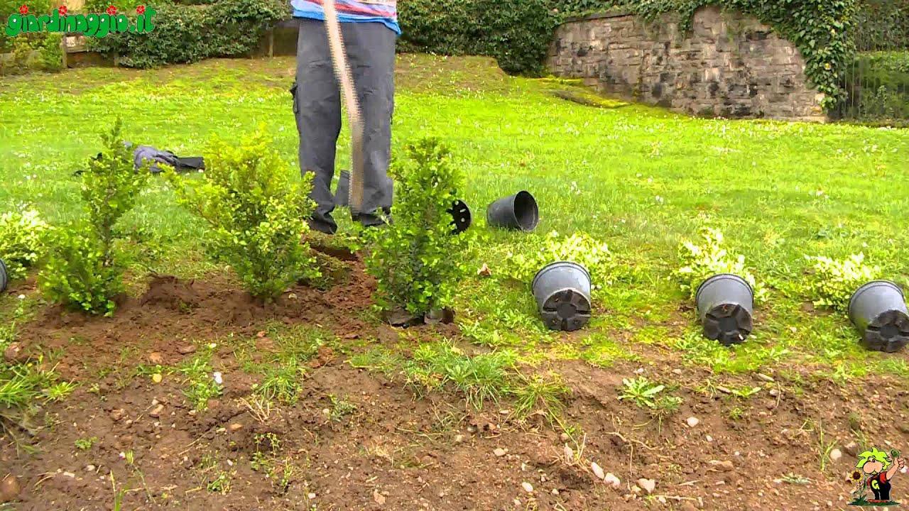 siepe di gelsomino? | Forum di Giardinaggio.it
