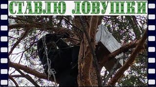 Забираюсь на дерево при помощи веревок, для установки ловушек.