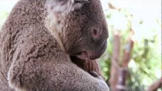 Repeat youtube video Koalas Poop In Their Sleep (original version) ♫