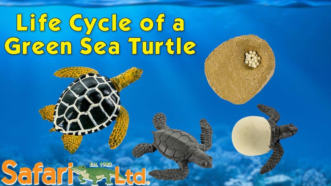 Safari LTD Life Cycle of a Green Sea Turtle - YouTube