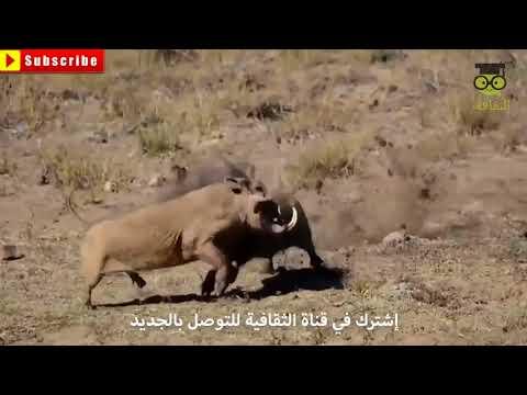 Dünyanın en esrarengiz hayvan avcılar-avlar ve saldırılar-müthiş belgesel