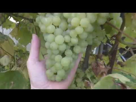 Виноград в подмосковье.