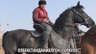 """Байыш Ниязов ӨЗБЕКСТАНДАН КЕЛГЕН АТЫ """"ГЕРКУЛЕС"""""""