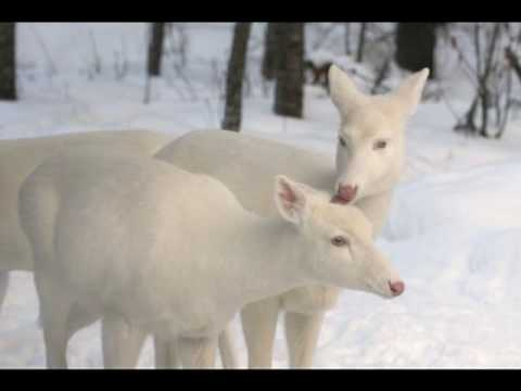 Boulder Junction Wi Albino Deer White Deer Peaceful