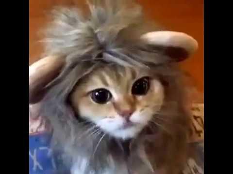 Funny lion cat :)))