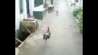 Ayam lawan kucing