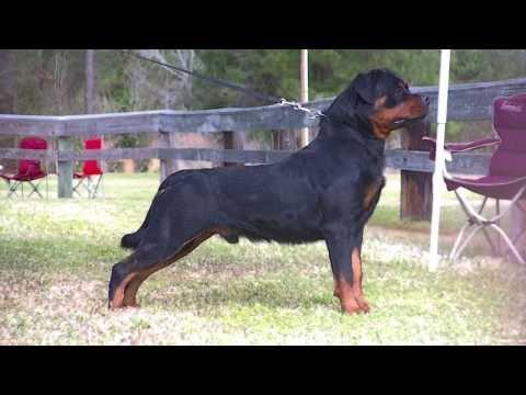 Rottweiler: charakter, pielęgnacja i predyspozycje do chorób