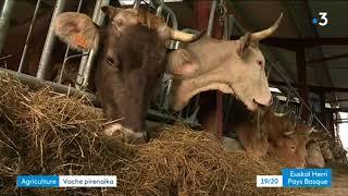 Au Pays Basque, la renaissance d'une vache ancestrale
