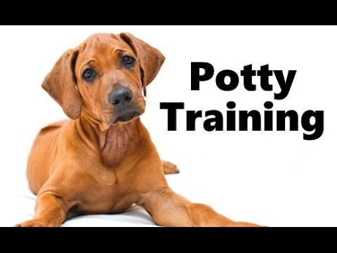 How To Potty Train A Rhodesian Ridgeback Puppy House