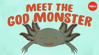 Axolotls: The salamanders that snack on each other (but don't die) - Luis Zambrano