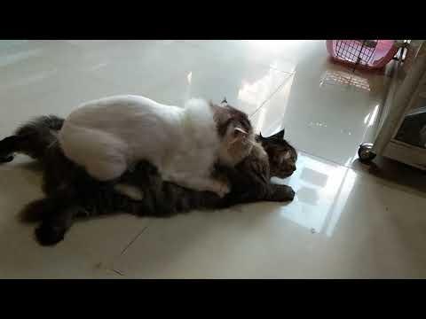 Begini Cara Ngawinin Kucing | Seluk Beluk Kucing Kawin