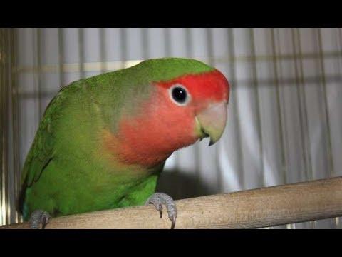 Как выглядит попугай неразлучник