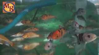 Ikan Koi Masih Kecil