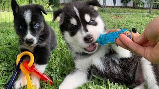 Puppies play with Toys for the First Time!!