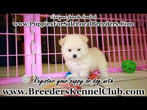 Toy Poodle Puppies For Sale Georgia Local Breeders Near Atlanta
