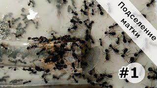 Подселение матки к безматочной колонии жнецов #1