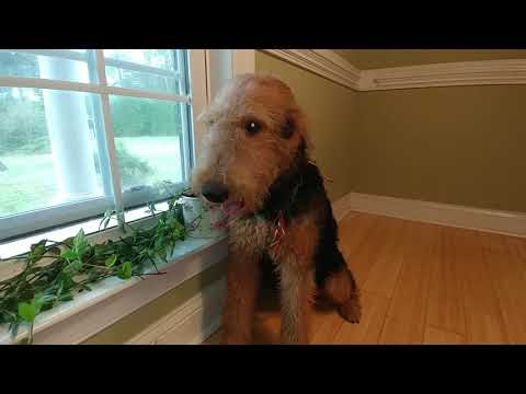 One On One With Ms. Red Gold Airedale Terrier Puppy For Sale On October 16, 2018