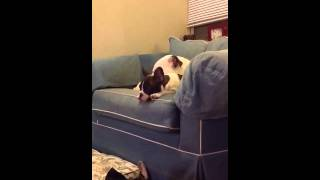 French Bulldog Puppy Cries Listening To Elliot Smith