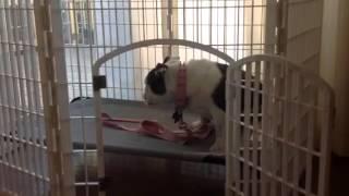 Bella, English Bulldog, Zoomies In Playpen