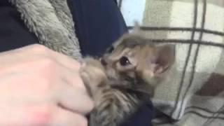 親バカ動画です。 ベンガルの仔猫マイメロちゃん(♂)