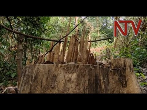 THE DISAPPEARING FOREST: Mabira forest steadily being lost to illegal logging