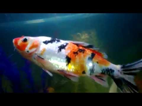 Hình ảnh cá Koi cảnh,bể cá cảnh.Công Ty CP Đồ Gỗ La Xuyên.
