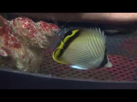 フウライチョウチョウウオ(風来蝶々魚)  Vagabond Butterfly Fish