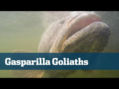Goliath Grouper in the Florida Gulf Coast - Florida Sport Fishing TV
