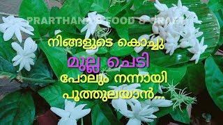മുല്ല ചെടിയിൽ ധാരാളം പൂവിരിയിക്കാൻ | How to get more flowers on Jasmine plant
