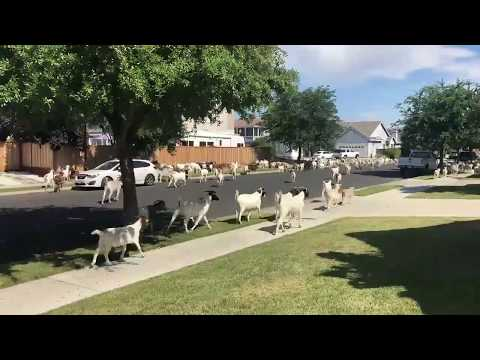 Herd of goats go on a rampage in California streets