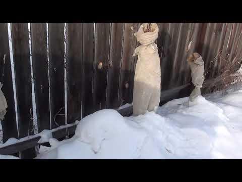 колоновидные яблони зимовка в Сибири