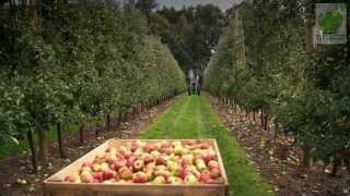 Zbiory jabłek 2013 (Apple picking,Apfelernte,Raccolta di mele,appeloogst,Made in Poland)