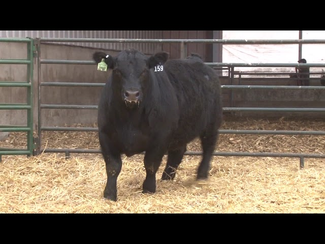 Schiefelbein Angus Farms Lot 159