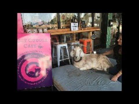 The Cat Cuddle Cafe in Brisbane