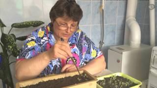 видео Семена астр