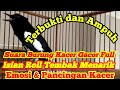 Burung Kacer Full Isian Dengan Gaya Tarung Merpati Inyong  Mp3 - Mp4 Download