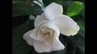 Play Permufe De Gardenias