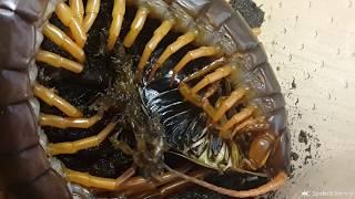 Baixar Skolopendry - diabelskie stworzenia, które mnie zachwycają - spidersonline.pl