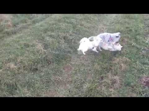 Chihuahuas and Shetland Sheepdog Sheltie Puppy running and playing