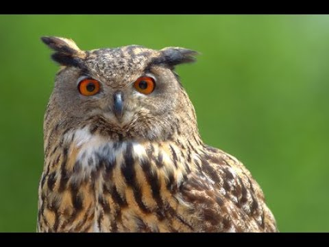 GREAT HORNED OWL AT DELHI ZOO