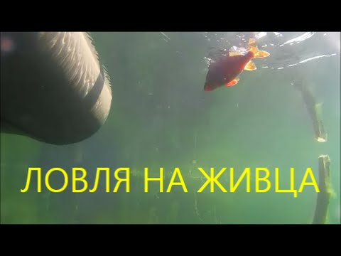видео подводной ловли на живца