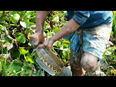 catching-fish-on-the-rice-land-||-catching-fish-by-hand-||-village-life-bd-||-gojar-fish
