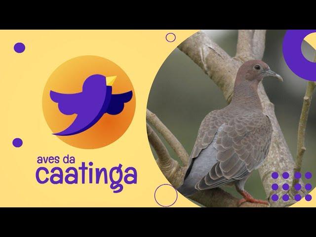 AVES DA CAATINGA #04 - Asa Branca